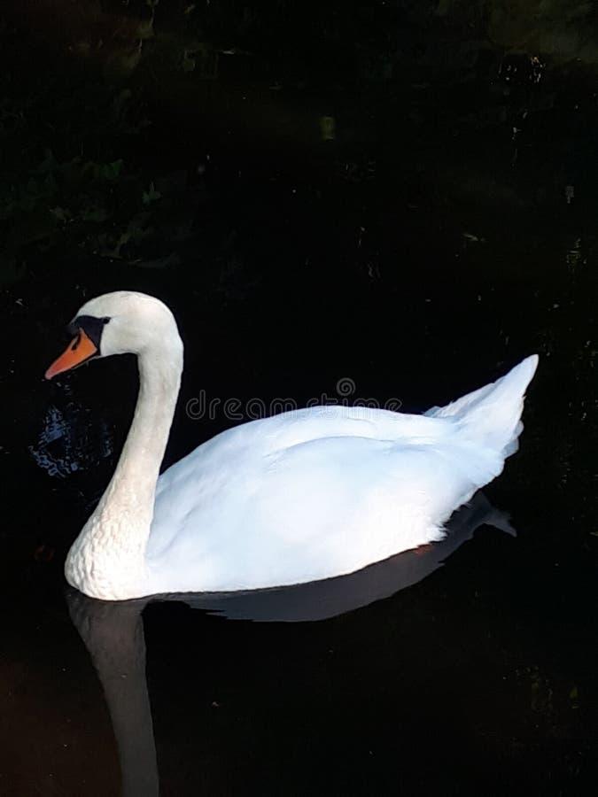 Pokojowy Niemy łabędź Na jeziorze zdjęcie royalty free
