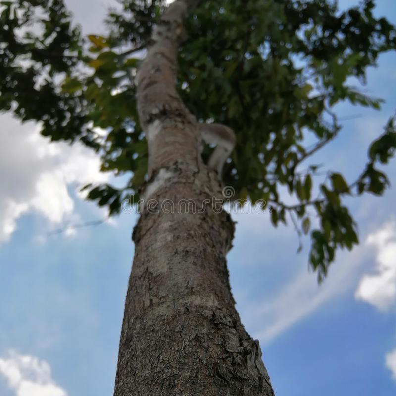 Pokok Μαλαισία στοκ εικόνες με δικαίωμα ελεύθερης χρήσης