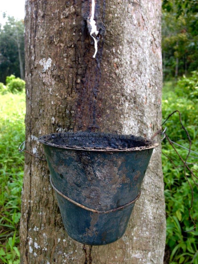 Pokok-getah stockbild