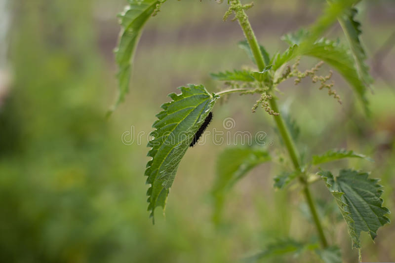 Pokrzywa z gąsienicą zdjęcie royalty free