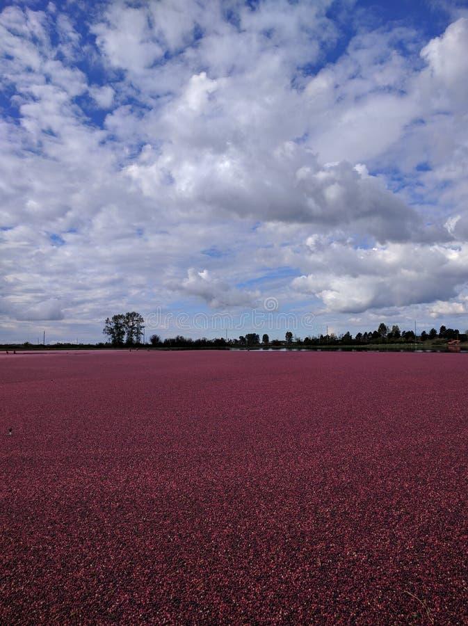 Pola Cranberries obraz stock