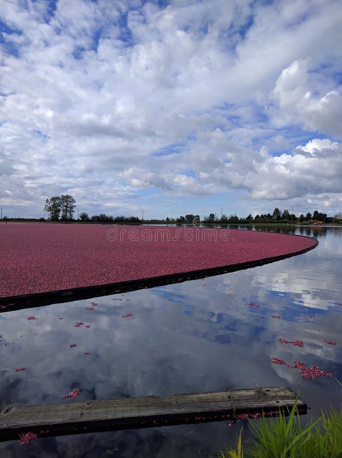 Pola Cranberries obrazy stock