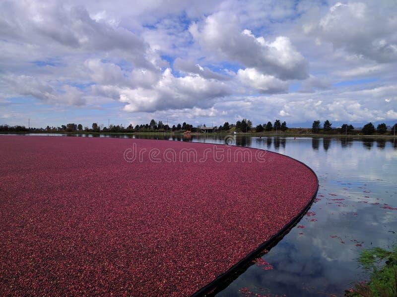 Pola Cranberries fotografia stock