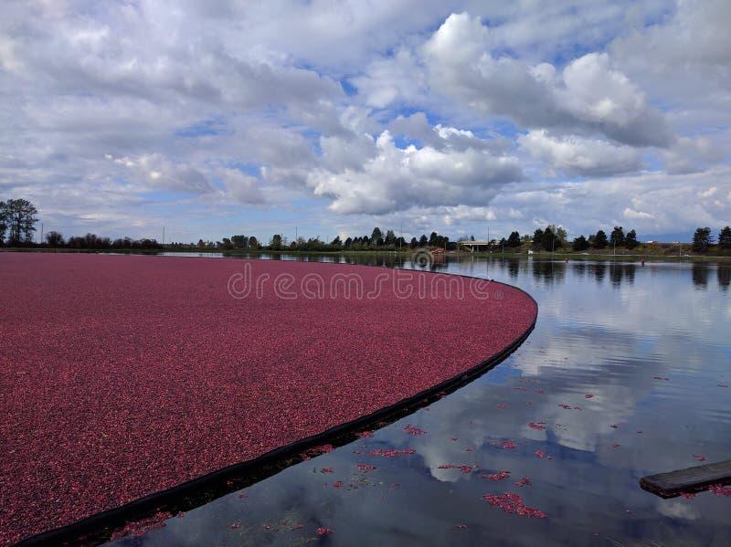 Pola Cranberries zdjęcia stock
