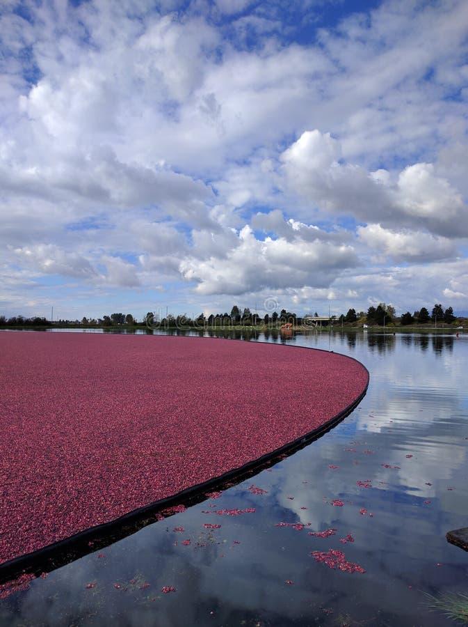 Pola Cranberries fotografia royalty free