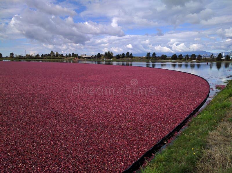 Pola Cranberries obraz royalty free