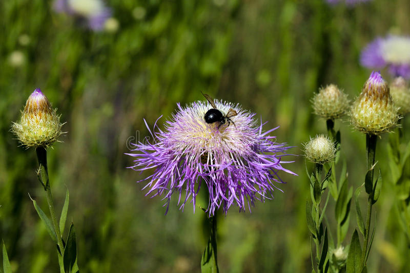 Pola Duro Canyon Wild Desert Flowers & Honey Bees royalty-vrije stock afbeelding