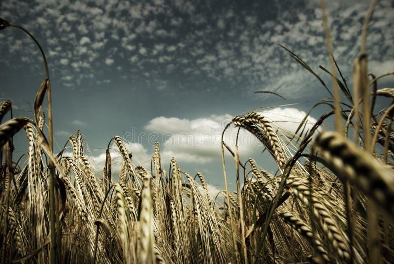 pola kukurydziane wiejskich obraz royalty free