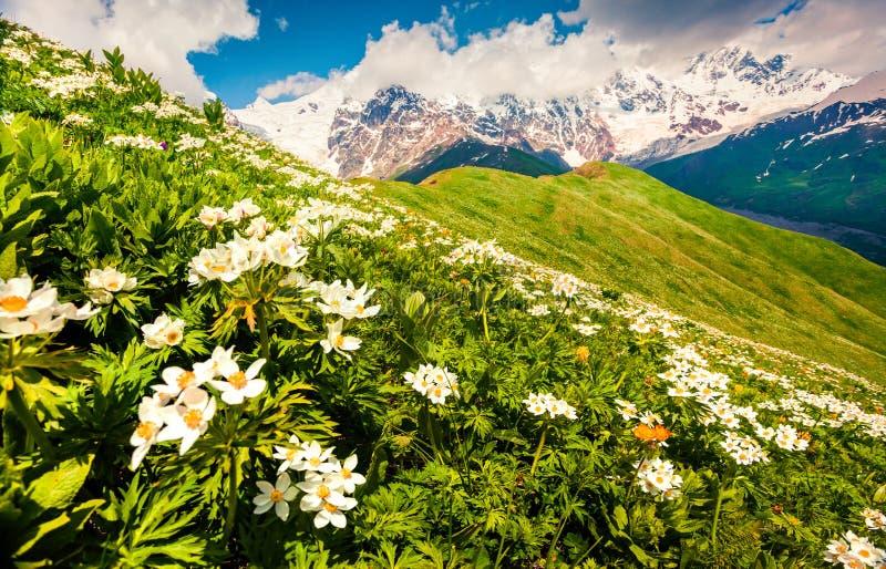 Pola kwitnąć białych kwiaty w Kaukaz górach zdjęcia royalty free
