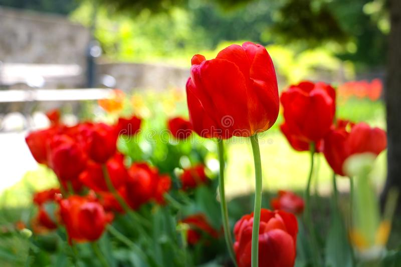 Pola na których kwiatów różowi tulipany Tulipanu pole Pole z r??owymi tulipanami obraz royalty free