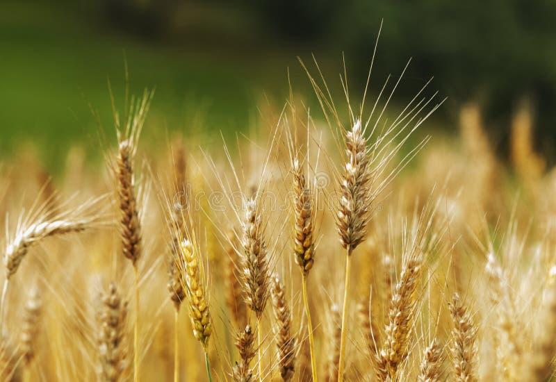 pola pszenicy obraz stock
