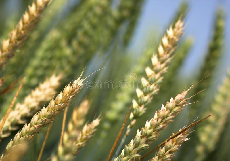 pola pszenicy zdjęcie royalty free