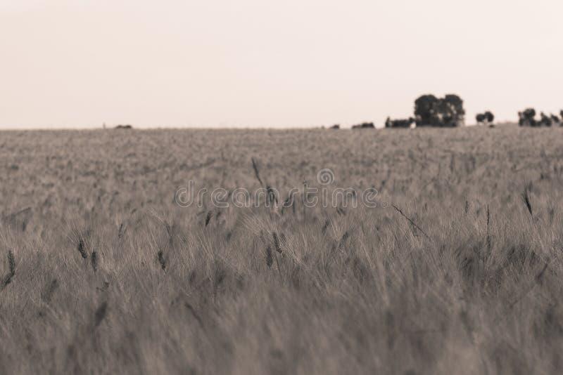 2 pola pszenicy obraz stock
