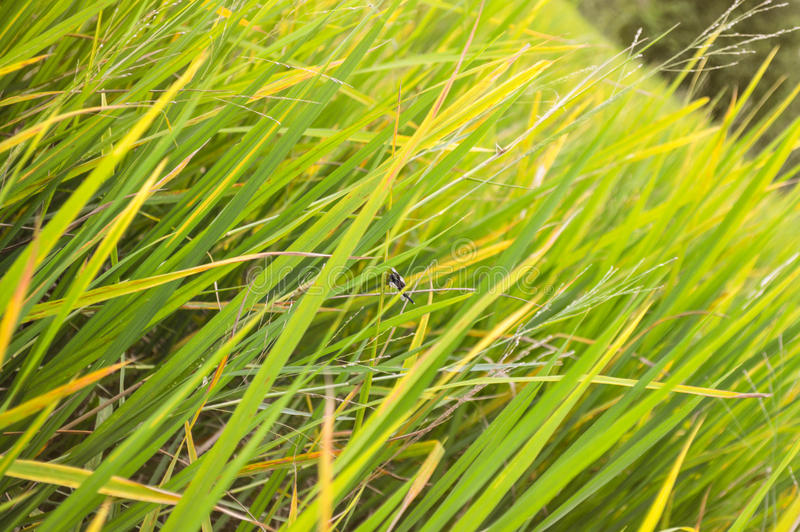 Pola ryżowi w północnym Tajlandia (Wypacza fotografię) obrazy stock
