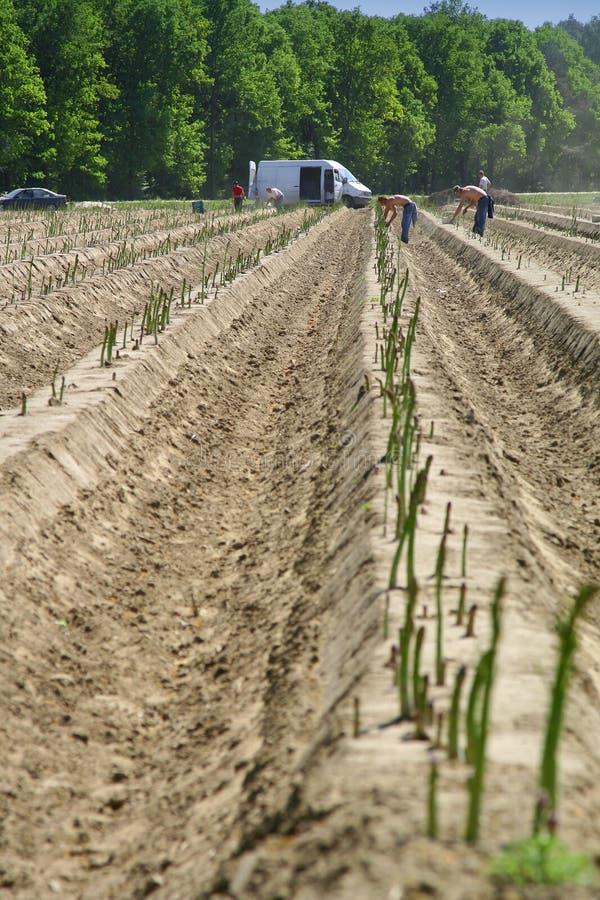 pola szparagów obrazy stock