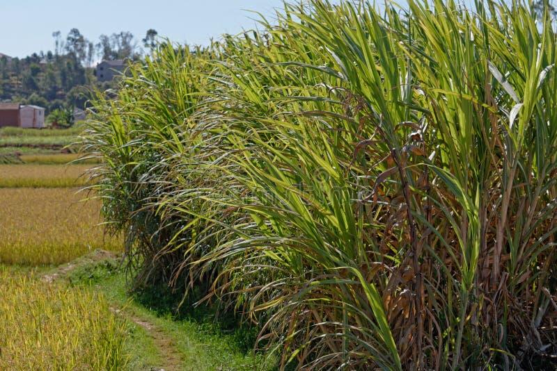 Pola trzcina cukrowa w Madagascar fotografia royalty free