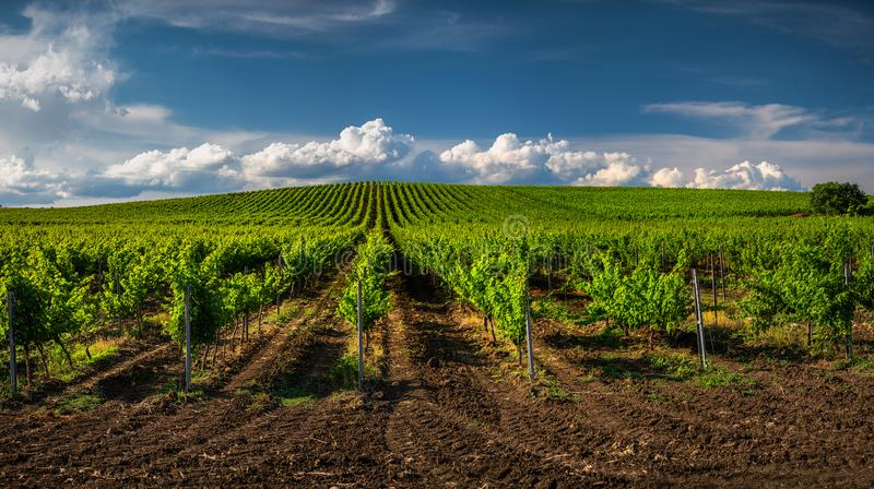 Pola winogrona w lecie fotografia royalty free