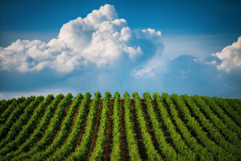 Pola winogrona w lecie zdjęcie royalty free