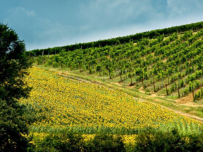 Download Pola Z Winem Słoneczniki W Tuscany Obraz Stock - Obraz złożonej z fielder, włochy: 57650601