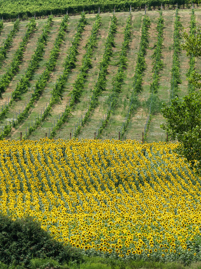 Download Pola Z Winem Słoneczniki W Tuscany Zdjęcie Stock - Obraz złożonej z krajobraz, europejczycy: 57650606