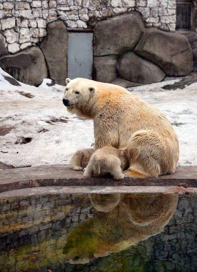 Polaire Bear stock foto's