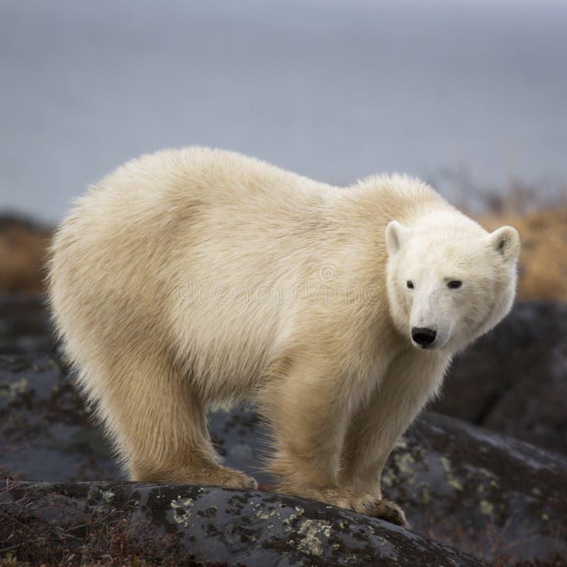 Polaire Bear royalty-vrije stock afbeeldingen