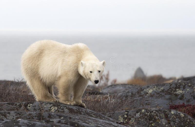 Polaire Bear stock foto