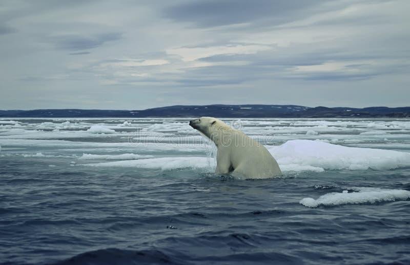 Polaire concernez la banquise dans l'Arctique canadien photo libre de droits