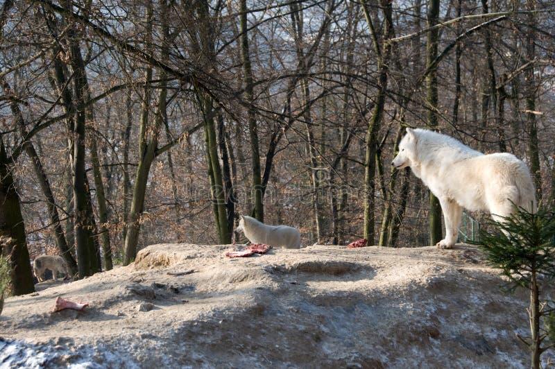 Polaire wolven stock afbeeldingen