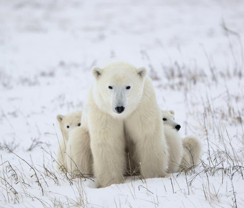 Polaire zij-beer met welpen. stock foto
