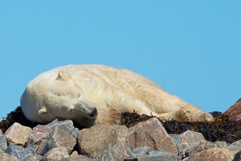 Polaires paresseux concernent les roches photo stock