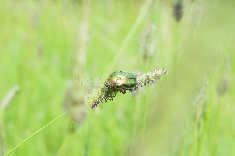 Poland, Rose Chafer Beetle. Poland, rose chafer (Cetonia aurata) beetle feeding on a straw of grass royalty free stock photos
