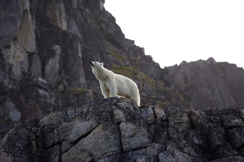 Polar Bear. Waiting the summer out high up on rocks, Svalbard, Arctic Circle stock image