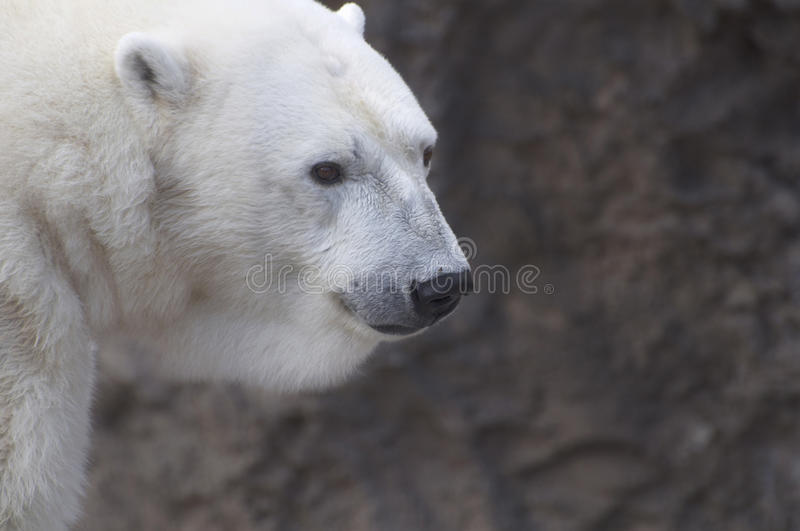Download Polar Bear stock image. Image of space, face, copy, white - 11471129