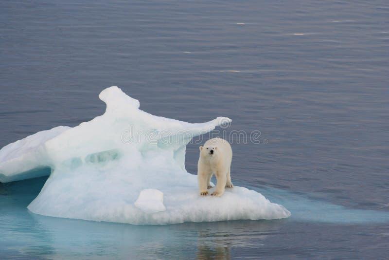 Polar Bear. Of the coast of Greenland