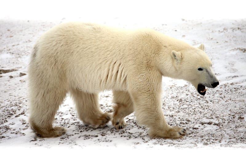 Download Polar bear stock photo. Image of hudsonbay, banquise - 12125636