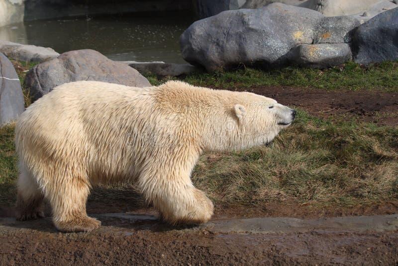 Download Polar bear stock photo. Image of bear, walk, portrait - 12687512