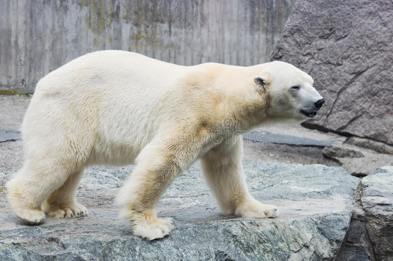 Polar bear. White bear in a zoo in Germany. Stuttgart royalty free stock photos