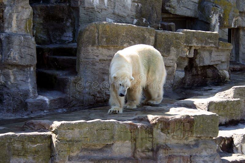 Download Polar Bear stock image. Image of nature, natural, rocks - 14752643