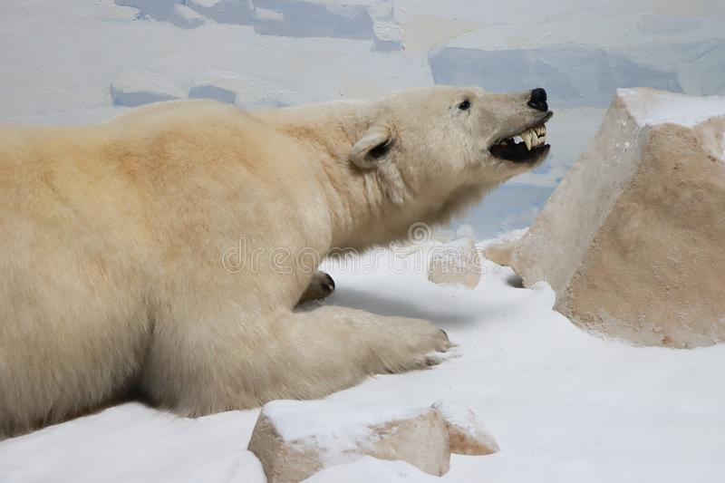 Polar Bear. The polar bear is a hypercarnivorous bear whose native range lies largely within the Arctic Circle, encompassing the Arctic Ocean, its surrounding stock image