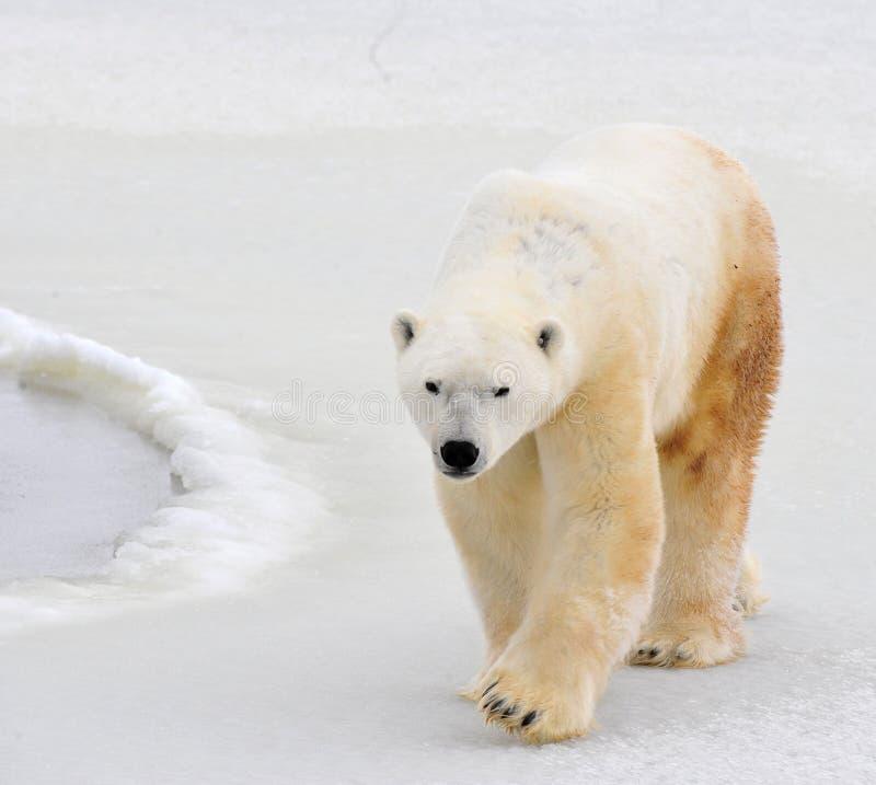 Polar bear. stock image