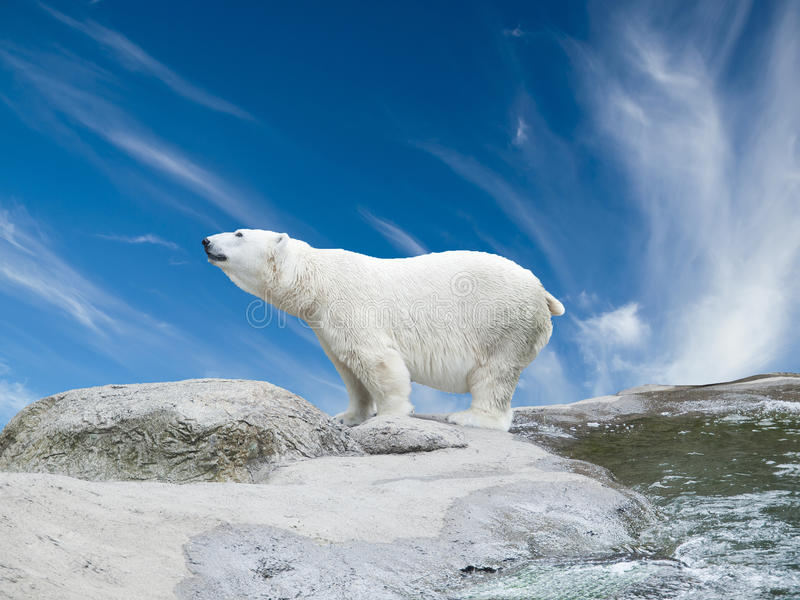 Polar bear. Stand on the rocks near the pond