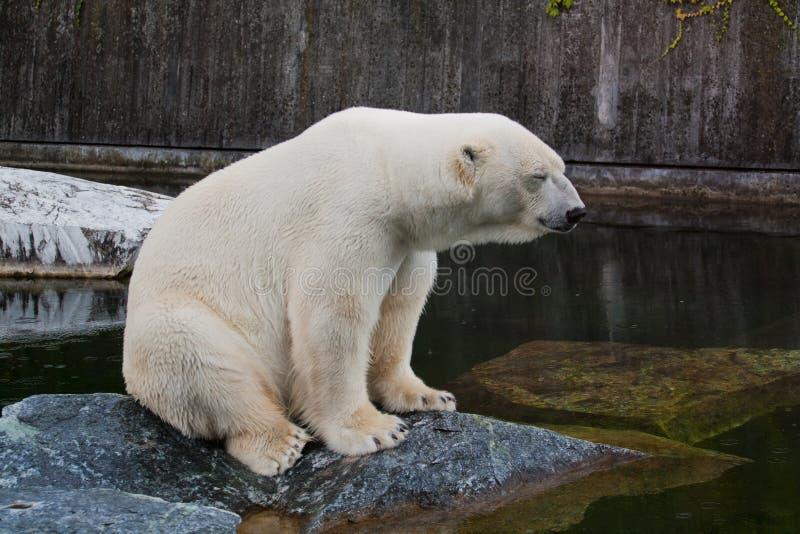 Download Polar bear stock photo. Image of close, maritimus, climate - 17151982