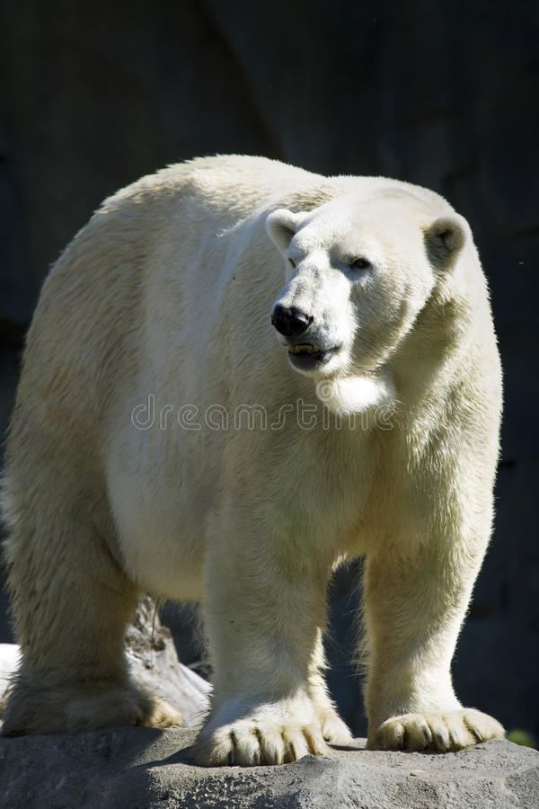 Download Polar Bear stock photo. Image of zoos, bears, antarctica - 17458394