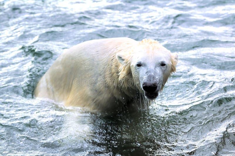 Download Polar bear stock image. Image of bears, calf, play, outdoors - 17879663
