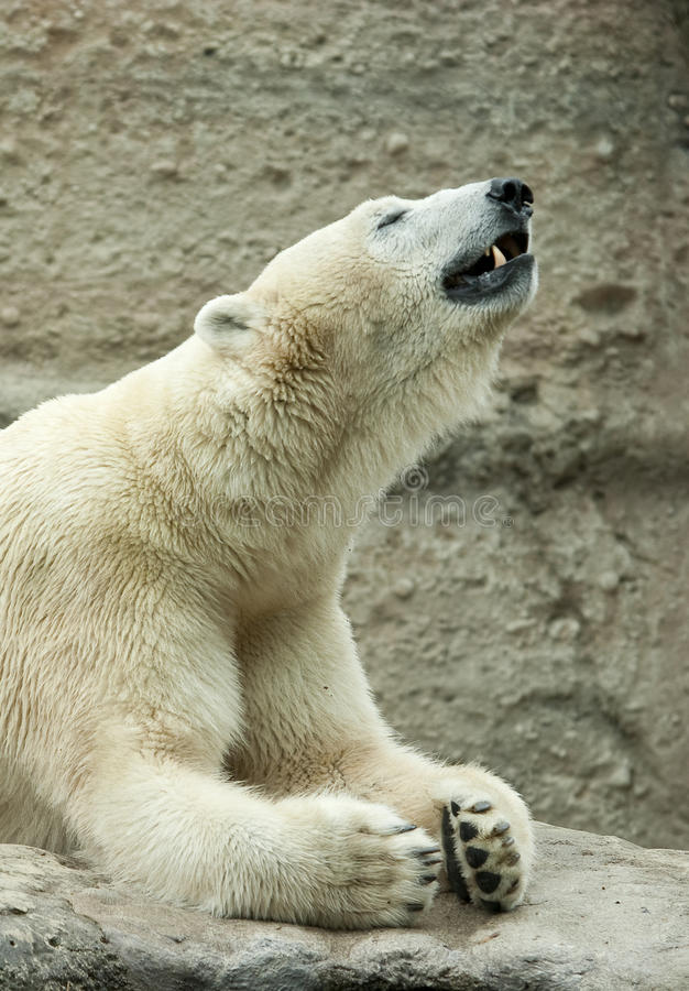 Free Polar Bear Royalty Free Stock Images - 18770939
