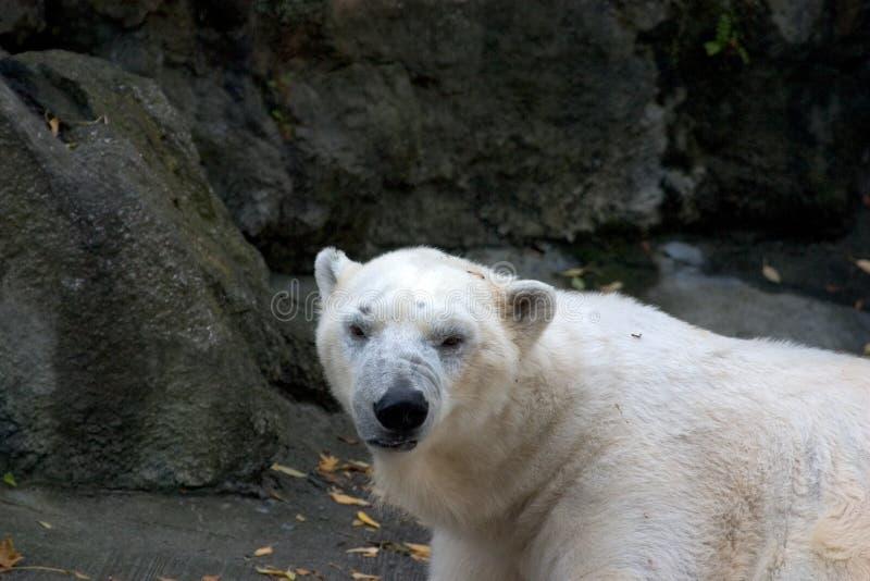Download Polar Bear Stock Images - Image: 193614
