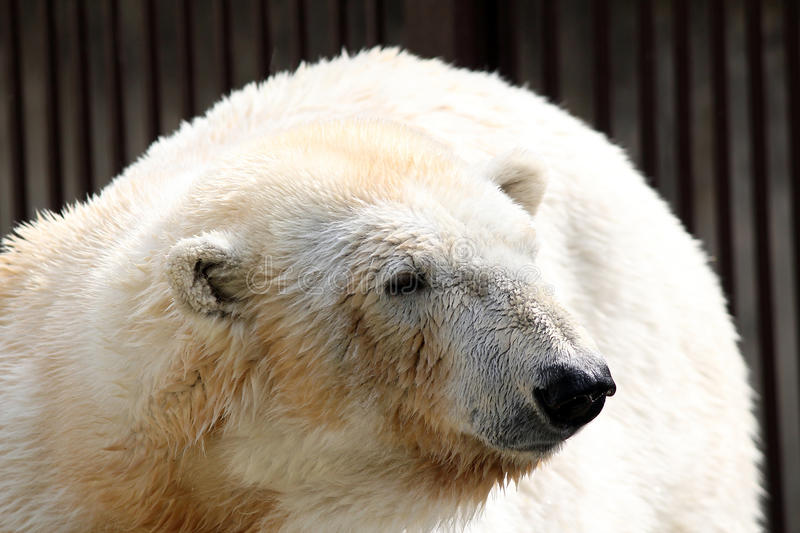 Download Polar bear stock photo. Image of polar, wild, carnivore - 19475180