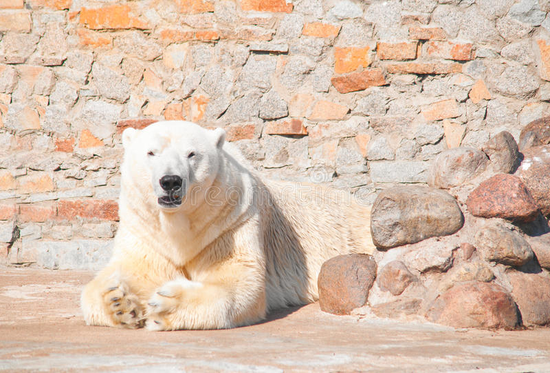 Polar bear. In zoo at sunny summer day royalty free stock photo