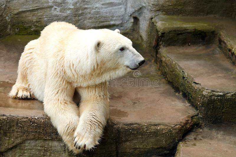 Polar bear. Ice bear lying on the cliffs in the zoo royalty free stock image